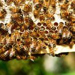 Mật ong hoa cà phê là gì? Nhận biết mật ong hoa cà phê như thế nào?